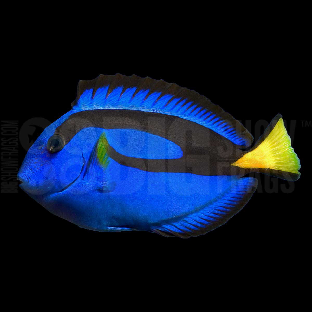Blue hippo tang tank raised bigshow frags for Blue tang fish price
