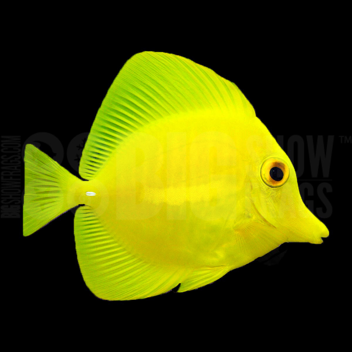 Yellow tang tank conditioned bigshow frags for Yellow fish tank water