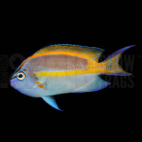 Bellus Angelfish - Male