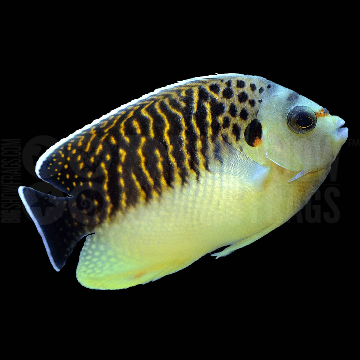 Tiger kingi angelfish africa bigshow frags for Fish compatible with angelfish