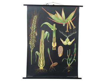 Vintage Botanical Chart, Rye Illustration