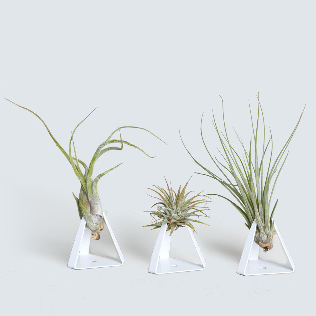 The Tillandz, Triple Air Plant
