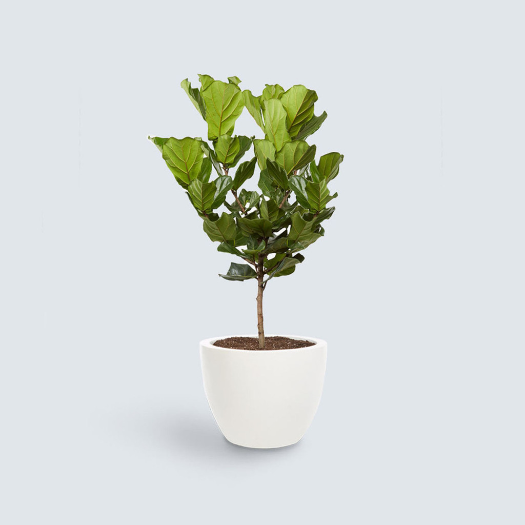 The Fiddle Leaf Fig Tree