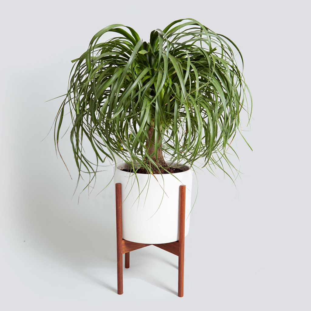 The Case Study Cylinder, Ponytail Palm