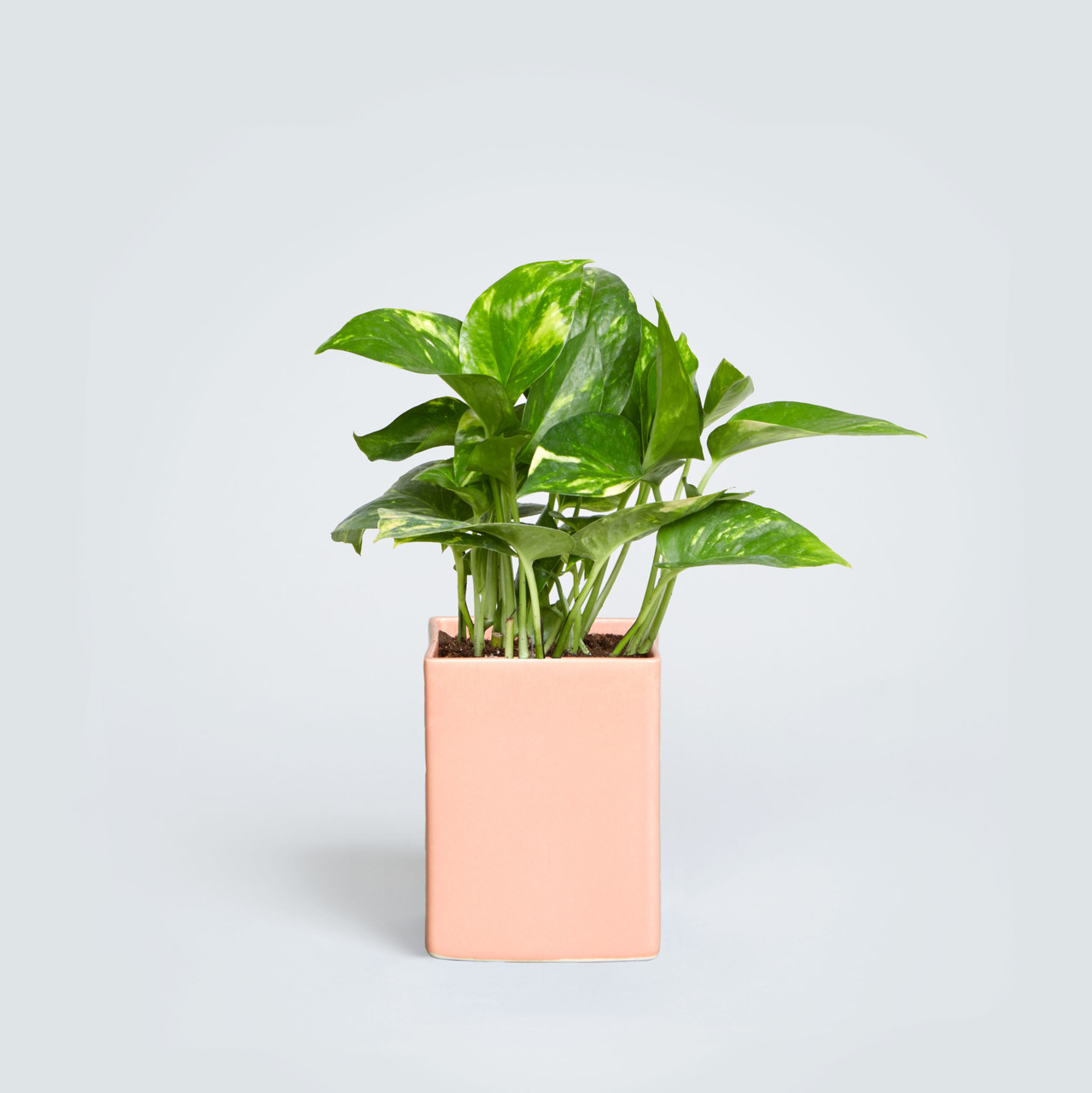 The Olmstead, Pothos