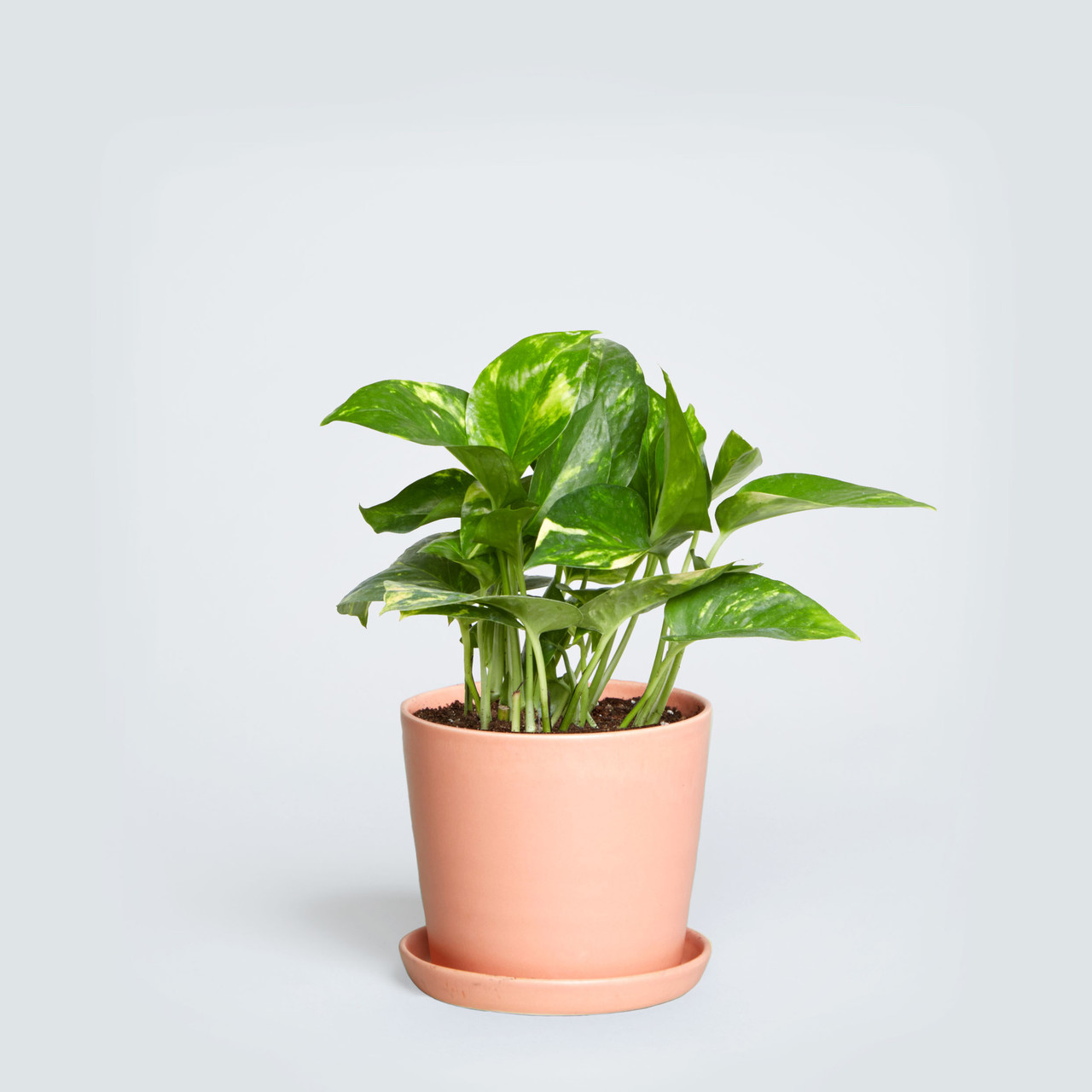 The August, Pothos