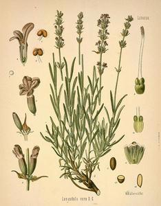 Lavender Flowers 1/2 oz