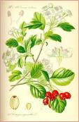 Hawthorn Berries 1 oz
