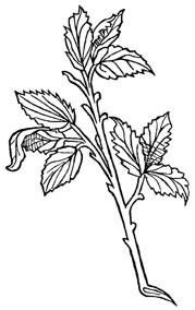 Birch Leaves, Cut  1/2 oz *Organic