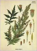 Wormwood Essential Oil 1 dram