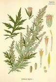 Mugwort Essential Oil 1 dram