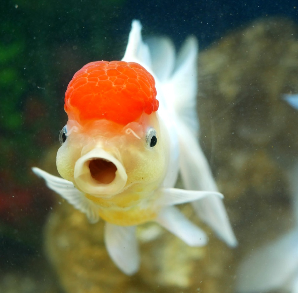 The History of Goldfish