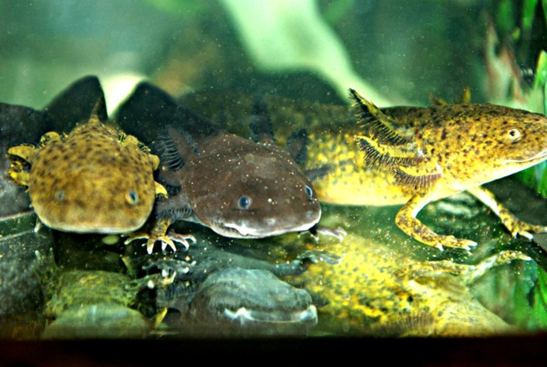 Every thing Axolotls, incuding buying Axolotls their  food & setup of habitat.