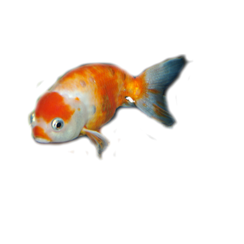 How the swim bladder works in goldfish