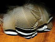 Barred Wood Duck Feathers