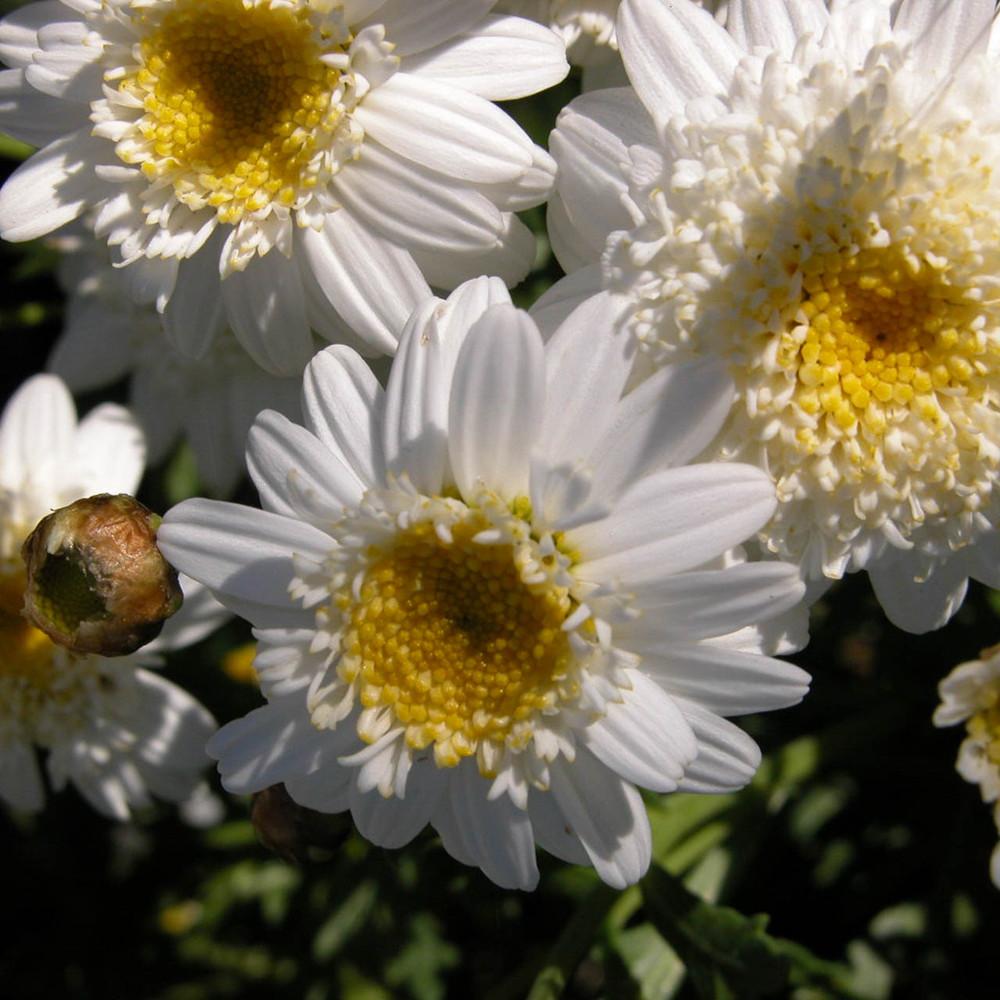 CLEAR MIND Organic Flower Essence Blend