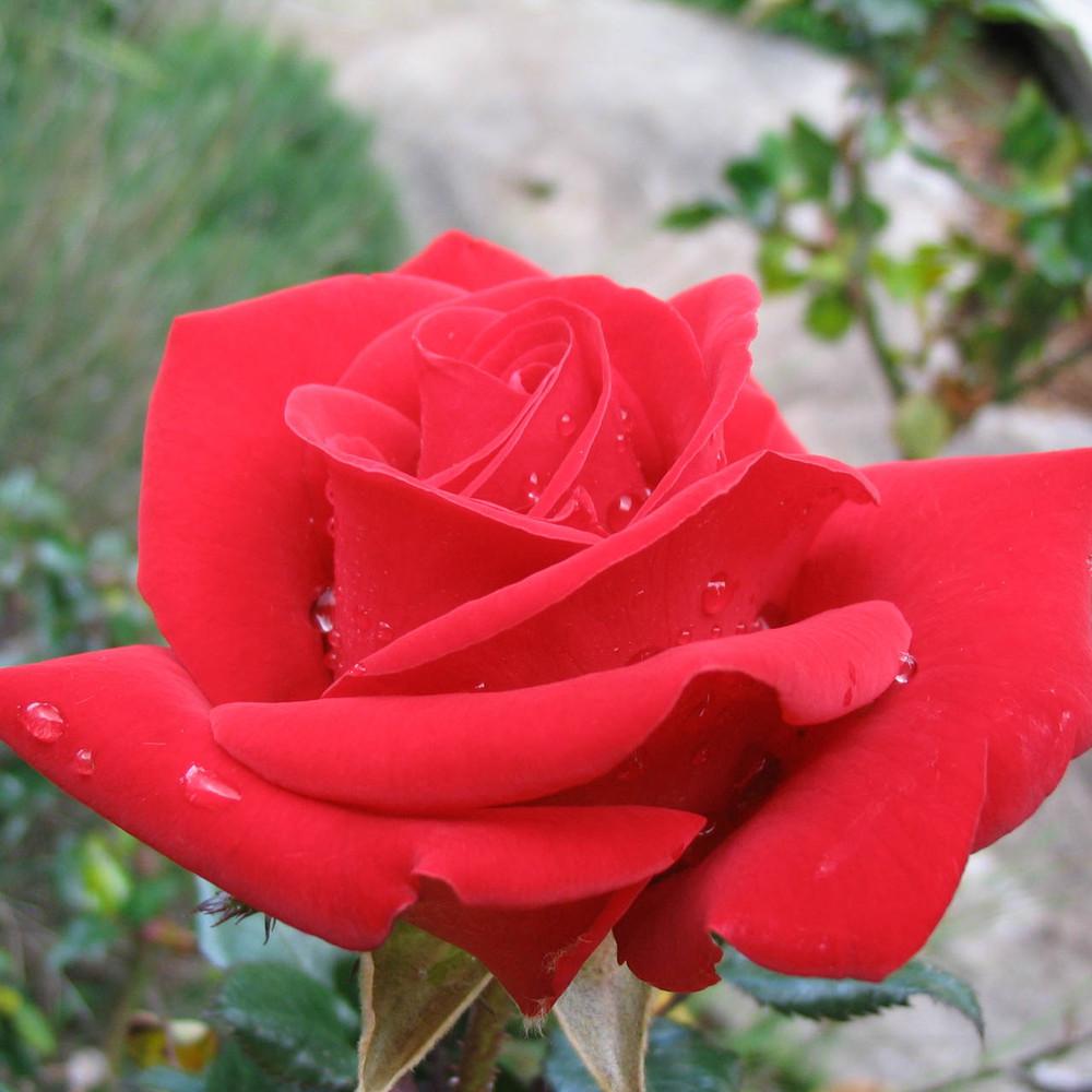 rose Fragrant Cloud