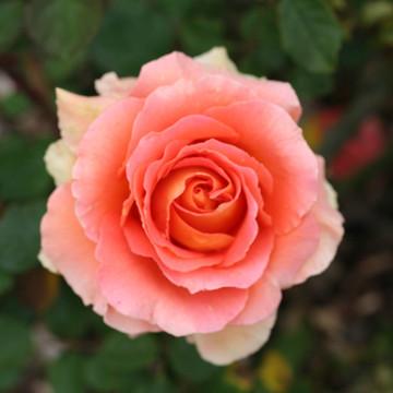 HEALTHY BODY Organic Flower Essence Blend