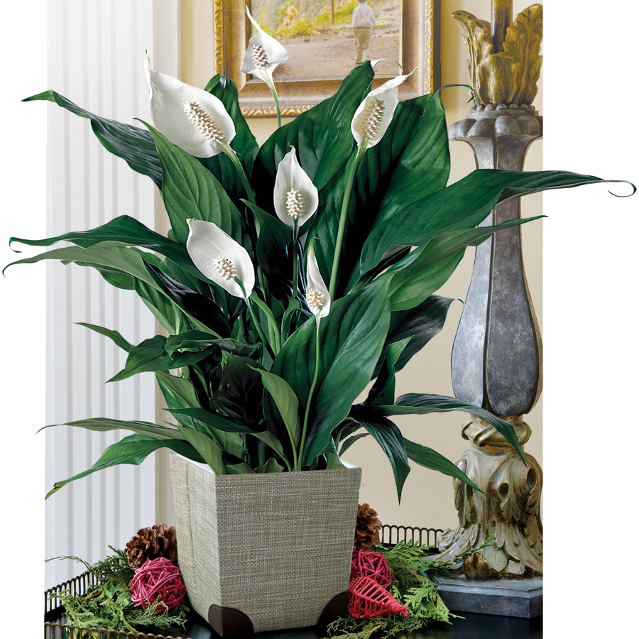 Peace lily care the common house plant beat your neighbor reviewsmspy