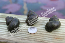 Pond Snails - Japanese Black Trapdoor Snails (Vivaparous Malleatus)