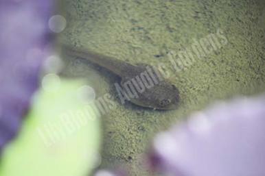 Bullfrog Tadpole