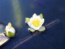 Pygmy Alba- White Hardy Water Lily