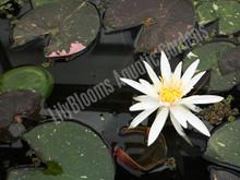 Arc-En-Ciel- Pink Hardy Water Lily