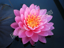 Perry's Fire Opal- Pink Hardy Water Lily