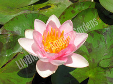 Shady Lady- Pink Hardy Water Lily