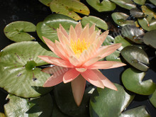 Pink Grapefruit- Peach/Orange Hardy Water Lily