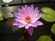 Panama Pacific- Purple Tropical Water Lily