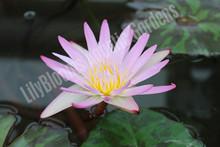 Madame Ganna Walska- Tropical Water Lily