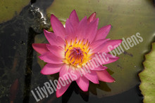 Ruby-  Pink Tropical Water Lily