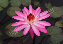 Emily G. Hutchings- Pink Tropical Night Blooming Water Lily