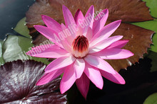 Mrs. George C. Hitchcock- Pink Tropical Night Blooming Water Lily