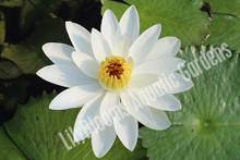 Trudy Slocum- White Tropical Night Blooming Water Lily