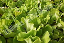 Curly Leaf Rosette Water Lettuce - Floating Pond Plant