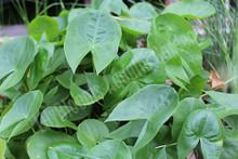 Arrowhead- Hardy Bog Plant