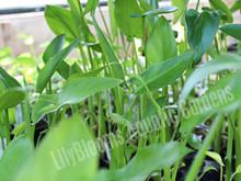 Arrow Arrum- Hardy Bog Plants