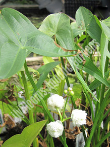 Double-Flowering Arrowhead- Hardy Bog Plant