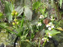 Silk Stockings Arrowhead- Hardy Bog Plant