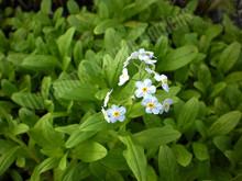Aquatic Forget-Me-Not- Hardy Bog Plant