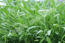 Lilaeopsis- Hardy Bog Plant