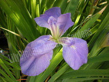Clyde Redmond- Wedgewood Blue Louisiana Iris
