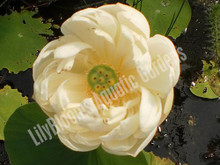 Spring Bird Lotus- White Hardy Water Lotus