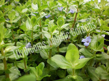 Lemon Bacopa- Tropical Bog Plant
