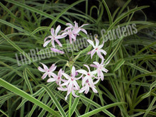 Variegated Spider Lily-Tropical Water Lily
