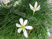 Zephyr Lily (Rain Lily)- Tropical Bog Plant