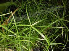 Dwarf Umbrella Palm- Tropical Bog Plant