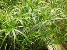 Umbrella Palm- Tropical Bog Plant